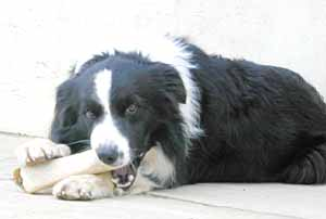 Border Collies: Scrumpy tucking into a bone