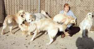 Dog Carer Au Pairs Surrounded by Golden Retrievers