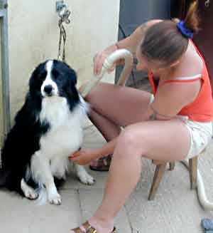 Au Pair Dog Carers Border Collie Scrumpy being  blasted dry
