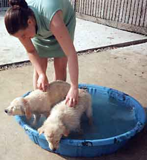 Au Pair Dog Carers Golden retreiver Puppies cooling off
