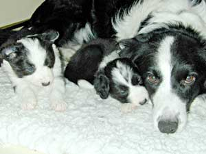 Border Collie, Cider and puppies