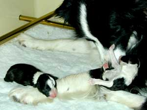 border collie puppy being washed