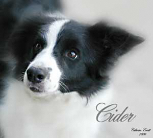 Border Collie, Cider