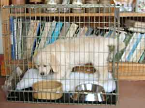 Border Collie and Golden Retriever Advice using a dog crate, cage or indoor kennel