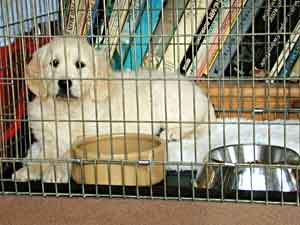 Border Collie and Golden Retriever Advice  using dog cages