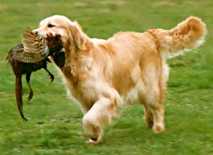 Border Collie and Golden Retrievers Toys and Games hunting gamrs
