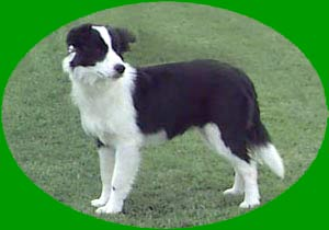 Border Collies: Deborah at six months old