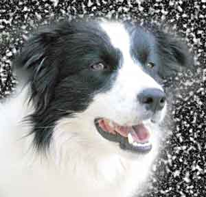 Border Collies: Deborah the beautiful