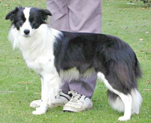 Border Collies: Deborah at a year old
