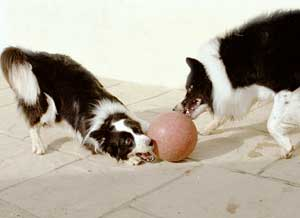 Border Collies: Deborah is also a very competant footballer trained by aunty Cider and practising with cousin Hercules