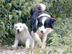 Border Collies: Deborah baby sitting Jet