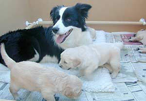 Border Collies: Never happier than when taking care of the babies