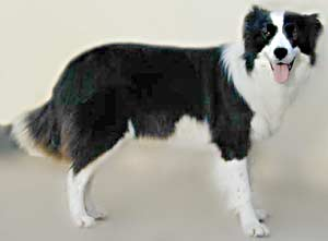 Border Collies: Deborah at 18 months old