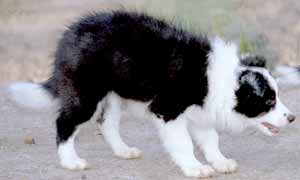 Border Collies: Esther in typical sheepdog stance