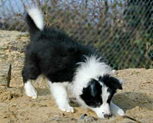 Border Collie puppy playing in the sand pit