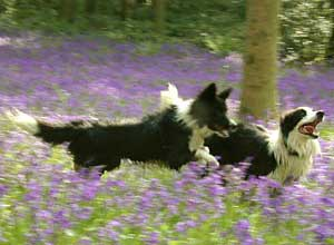 Border Collie - Esther
