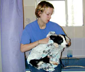 Border Collie puppy being dried by Marie