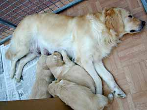 Golden Retriever Puppies with Isis