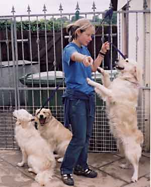 Au Pair Dog Carers Golden Retriever magic being naughty