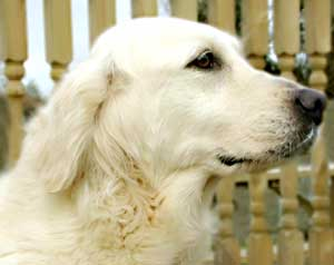 Golden Retriever - Lucy
