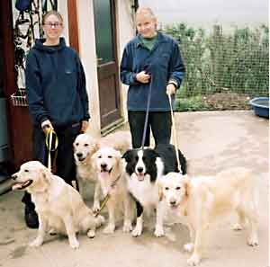 Au Pair Dog Carers Golden Retrievers and Border Collie Hercules off for a walk