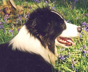 Border Collies: Merry in the bluebell wood