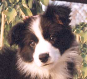 Border Collie Puppy Pictures