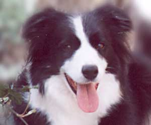 border collie Merry smiling