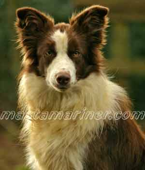 Border Collie Image brown