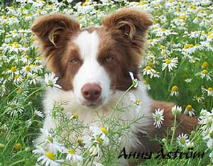 Brown Border Collie Image