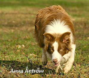 Brown Working Border Collie