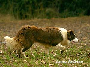 Brown Working Border Collie Image
