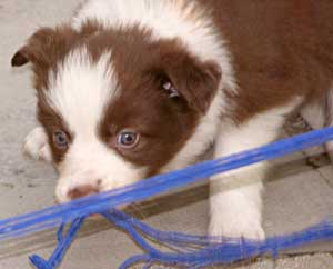 border collie puppy image