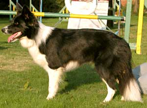 Border Collie - Ruth