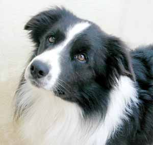 Border Collies: Scrumpy