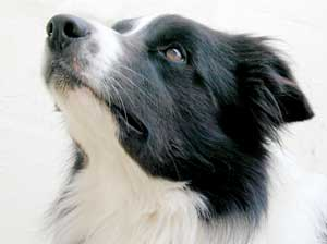 Border Collies: Pretty Scrumpy