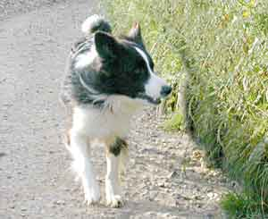 Border Collies: Scrumpers on the run!
