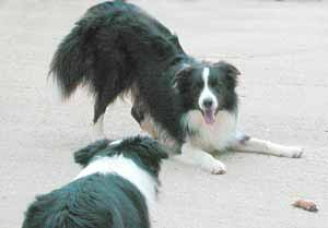 Border Collies: Scrumpy inviting Deborah