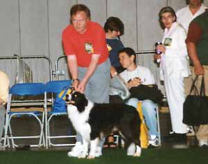 dog showing - Border Collies at Crufts